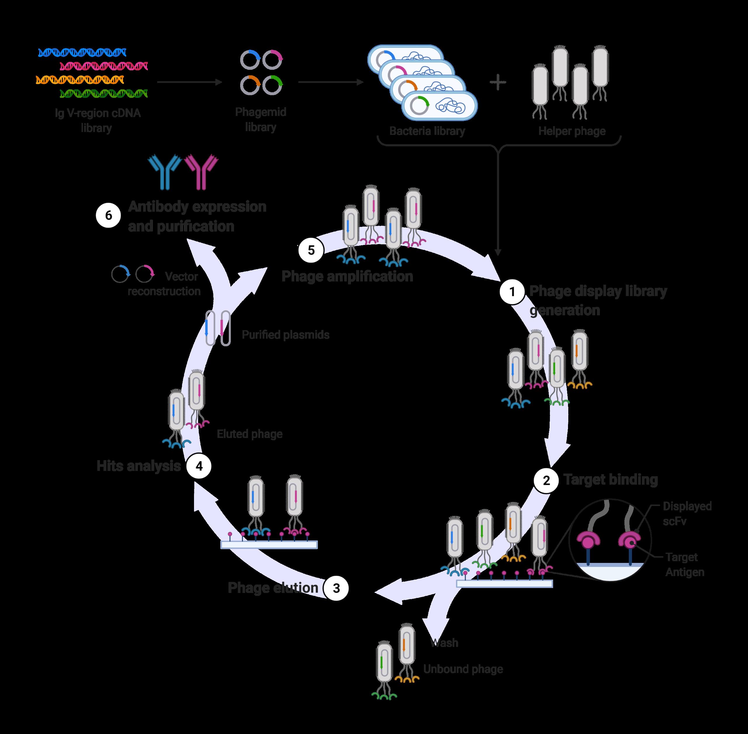 Antibody Discovery Workflow - Phage display