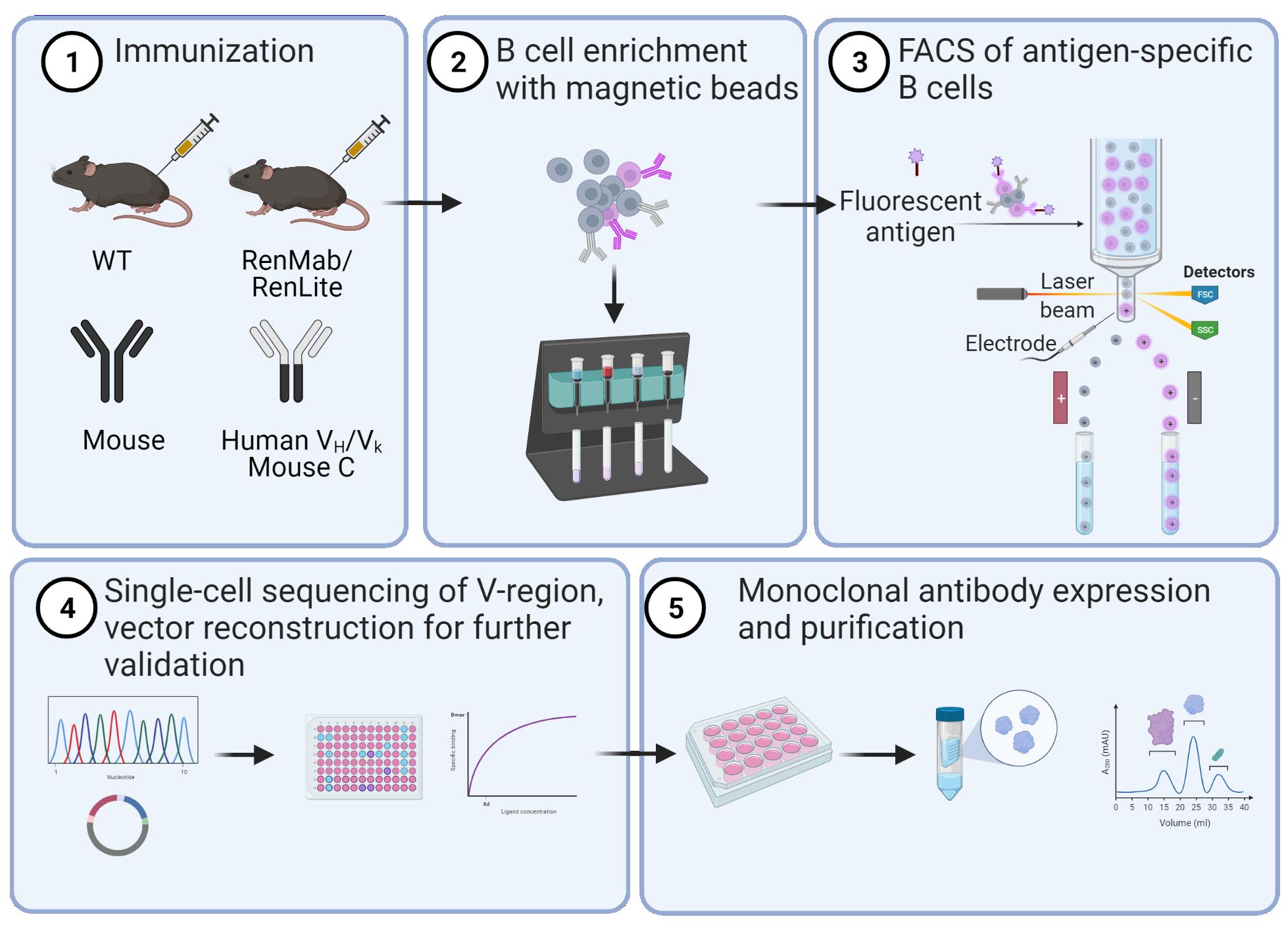 Antibody Discovery FACS workflow